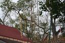 Anura - äldsta trädet