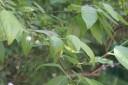 Blåbärsblomma